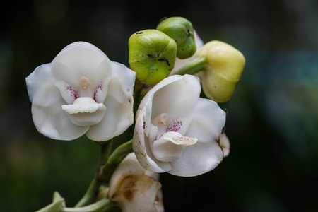 white elata orchid photo