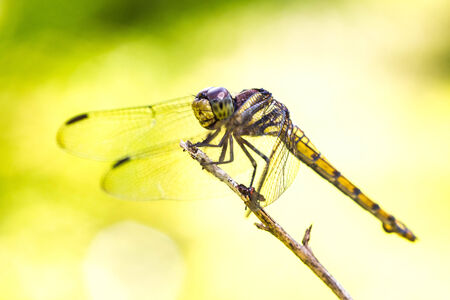 trithemis: Resting yellow dragonfly