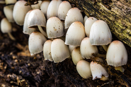 fungi woodland: a group of white mushrooms growing in the old tree
