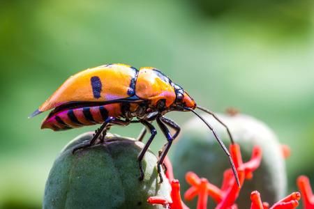 Jewel Bugs (Family Scutelleridae)