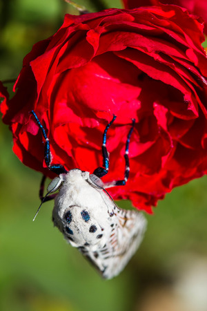 north american butterflies: Close- up view of a Giant Leopard Moth (Hypercompe scribonia) on red rose