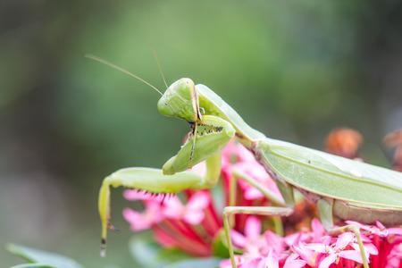 praying mantis: Praying mantis (Mantis religiosa) on flower