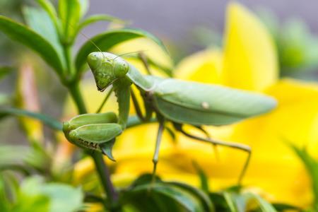 praying mantis: Praying mantis (Mantis religiosa) on a leaf