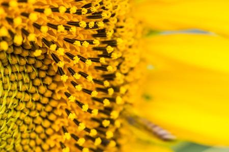 viewfinderchallenge3: sunflower