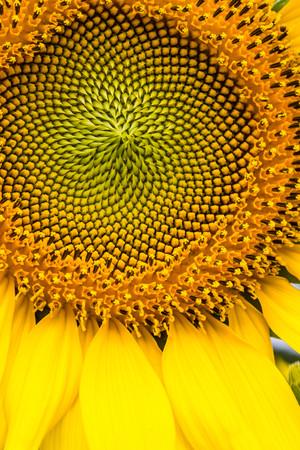 viewfinderchallenge3: sunflower close up  Stock Photo