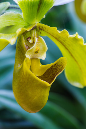 lady slipper: Lady Slipper Orchid Paphiopedilum