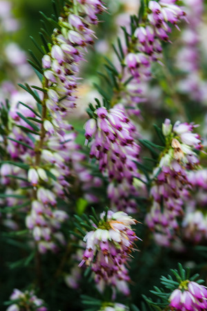 veronica flower: Veronica flower