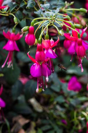 fuchsia: Fuchsia, Purple Pink-Red