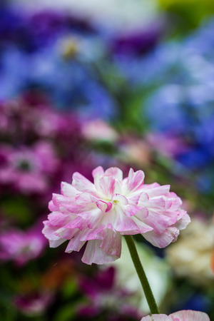 buttercup flower: pink persian Buttercup Flower (Ranunculus asiaticus)
