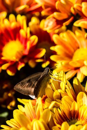 calceolaria: piccola farfalla sul fiore