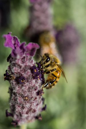 calceolaria: piccola ape sul fiore Archivio Fotografico