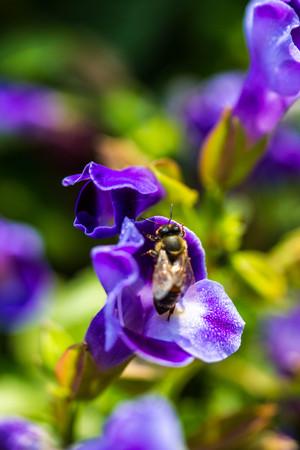 calceolaria: little bee on flower