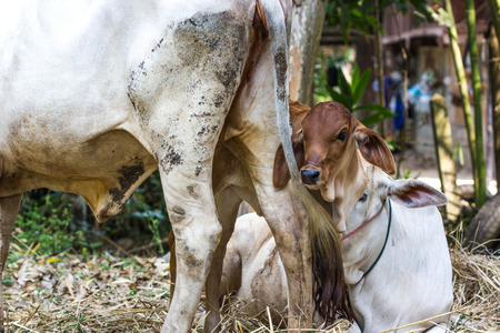 Brown calf with his mother cow photo