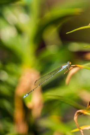 Damsel Flies photo