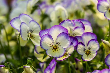 color pancy flowers
