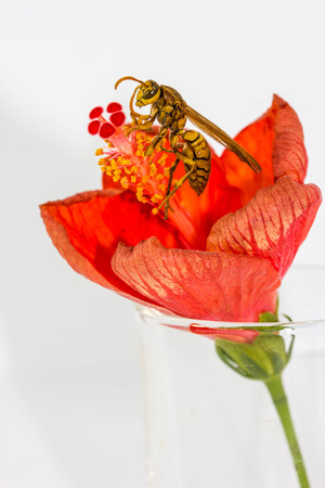 apocrita: Hymenoptera on red flower