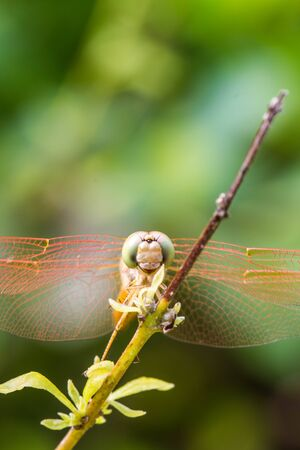 Resting orange dragonfly photo