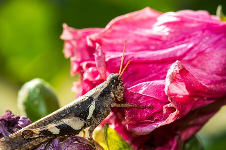 acrididae: Grasshopper on pink flower