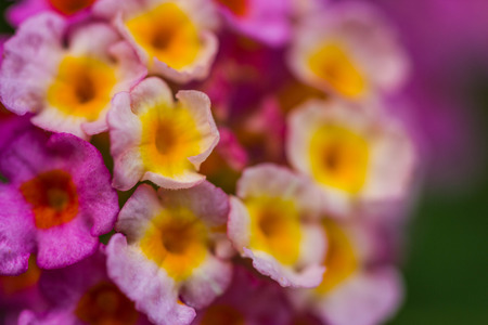 lantana: pink lantana flower
