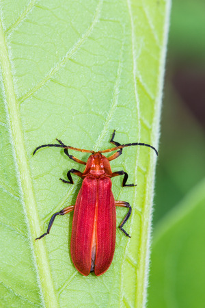pentatomidae: Red bug on green leaf Stock Photo