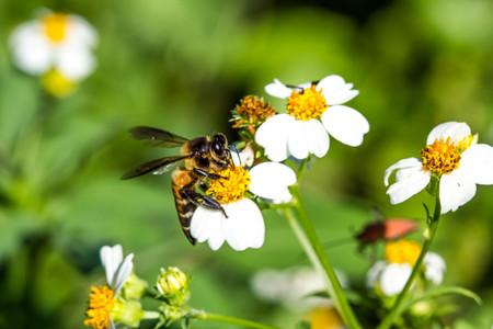 bee on flower: Little bee on flower