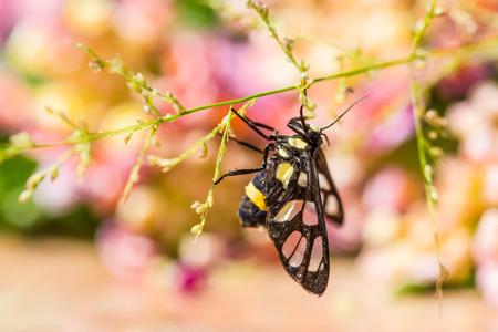 borer: Tiger Grass Borer Moth