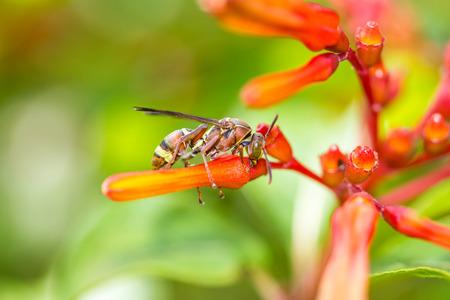apocrita: Hymenoptera on orange flower