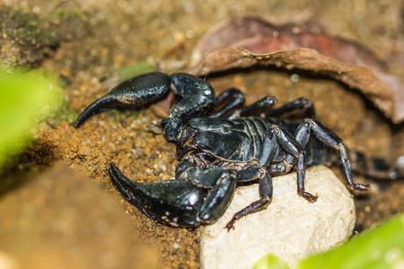 imperator: Scorpion Pandinus imperator on nature background