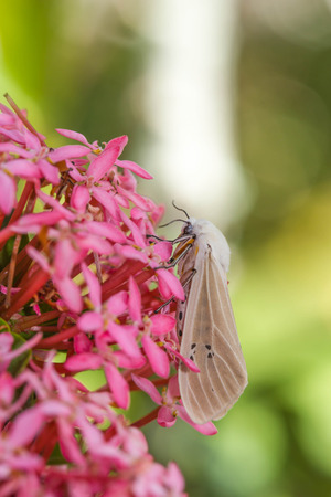 north american butterflies: moth on flower