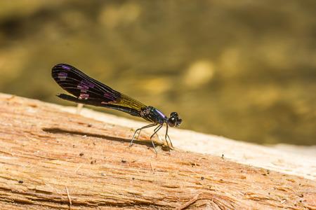 damsel: Damsel Flies at water fall