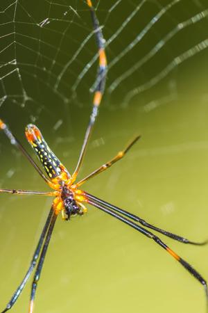 golden orb weaver: Golden Orb-weaver Spider