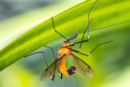 gnat: aedes, animal, background, black, bug, close, close-up, closeup, dead, detail, extreme, gnat, horizontal, insect, isolated, macro, magnification, malaria, mosquito, nature, pest, small, up, virus, white Stock Photo