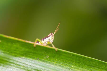 acrididae: Little Grasshopper Stock Photo