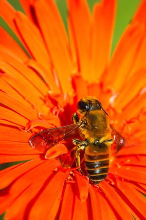 bee on flower: Little bee on orange flower