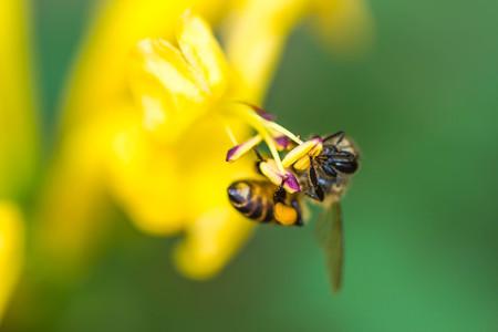 bee on flower: little bee on yellow flower Stock Photo