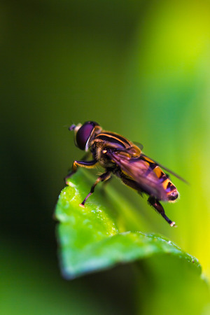 syrphid fly: Fruit files or Flower files on green leaf