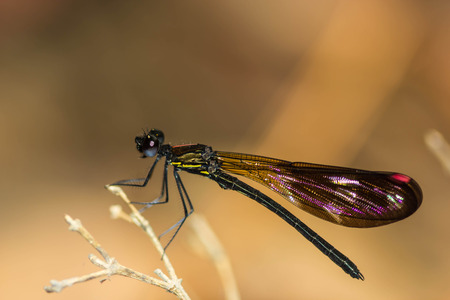 damsel: Damsel Flies at water fall