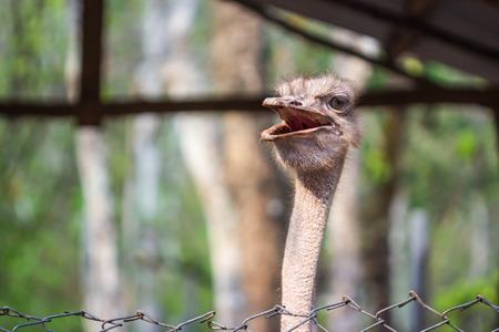 ostrich: Cabeza de avestruz