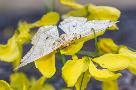 polymorphism: beige moth on yellow flower