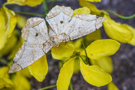 lepidopteran: beige moth on yellow flower
