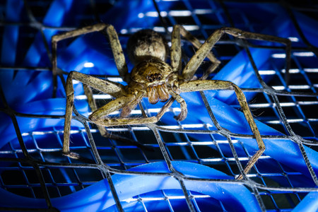 terrify: Brown huntsman spider on electric mosquito bat