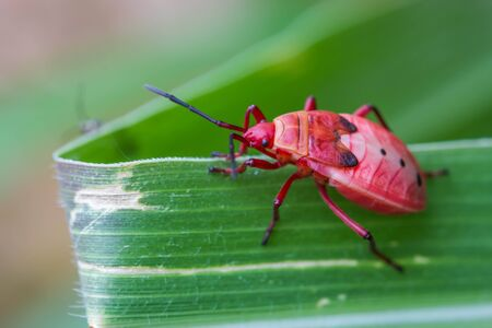 coitus: red shield bug on nature background