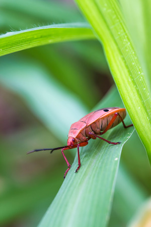 shield bug: red shield bug on nature background