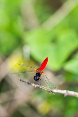 resting: Resting blue dragonfly
