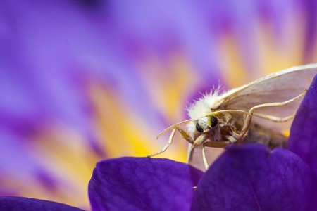 sericulture: white moth on purple lotus Stock Photo