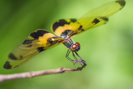 Resting yellow-black dragonfly Stock Photo
