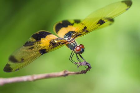 trithemis: Resting yellow-black dragonfly Stock Photo