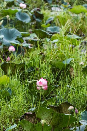 marshy: Lotus flower in marshy