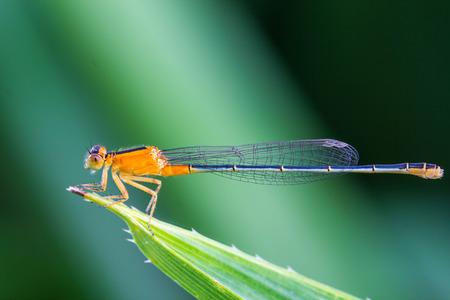 damsel: Orange damsel Flies on green leaf