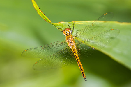 resting: Resting orange dragonfly
